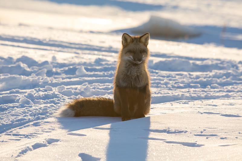 Backlit fox shortly after sunrise.