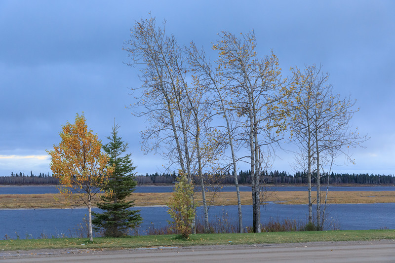Trees along the Moose River in Moosonee 2017 October 17th. The leaves dropped off very quickly.