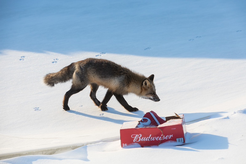 Fox and empty case of Budweiser along the edge of the Moose River.