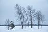 Trees along the Moose River in morning rain 2017 February 212st.