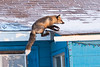Fox landing on roof