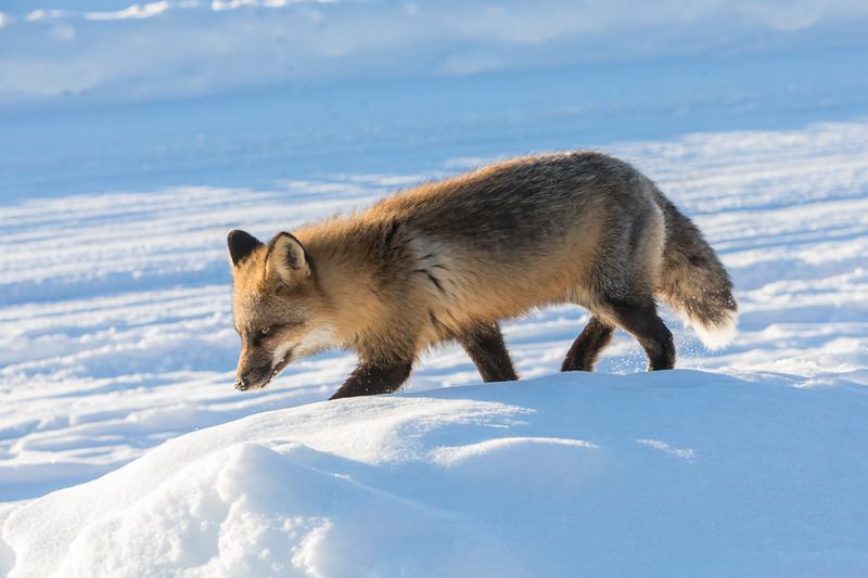 Fox walking on snow bank.