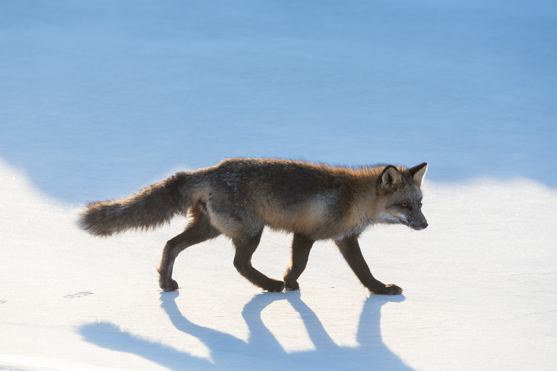 Fox walking along the edge of the Moose River.