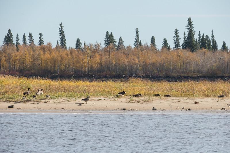 Geese on the sandbar.