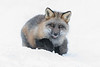 Fox in the snow.