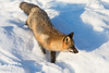Fox walking down snow bank.