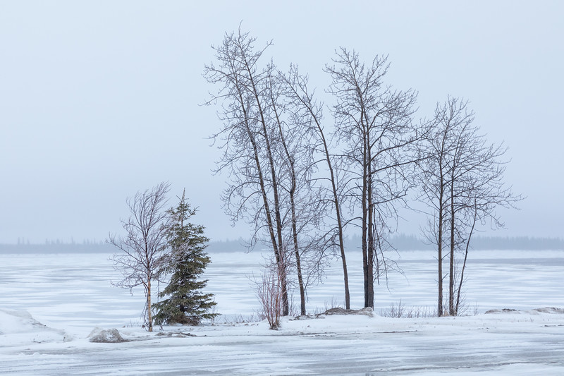 Trees along the Moose River in Mosonee 2017 April 27th. After a night of snow it is raining out there.