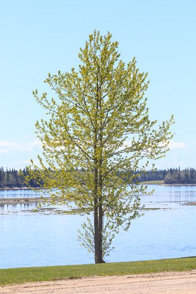 More leaves on a tree along the Moose River in Moosonee.