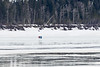 People walking on the Moose River 2017 April 3rd.