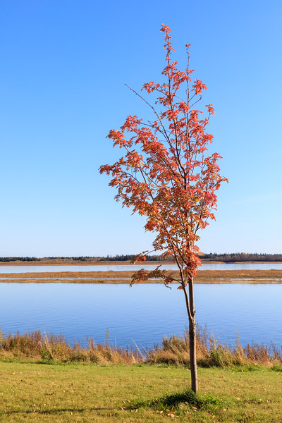 Still leaves on this tree along the Moose River in Moosonee. 2017 October 20th.