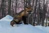Fox on snow bank before sunrise in Moosonee.