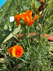 Poppies growing outside Keewaytinok Native Legal Services