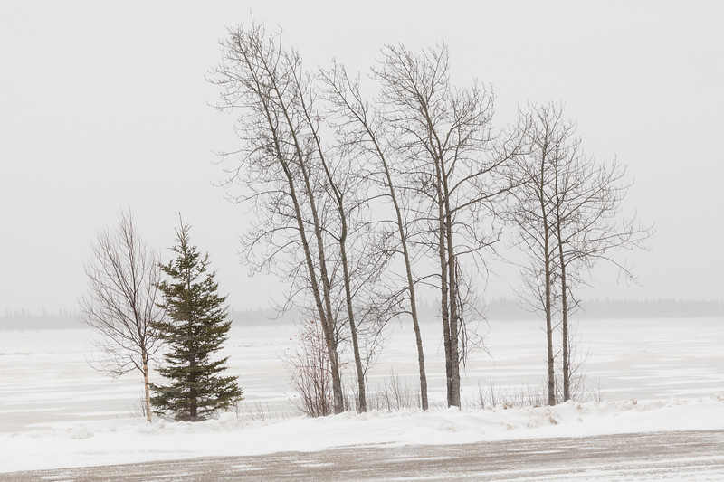 Trees along the Moose River in wind and snow 2017 December 6.