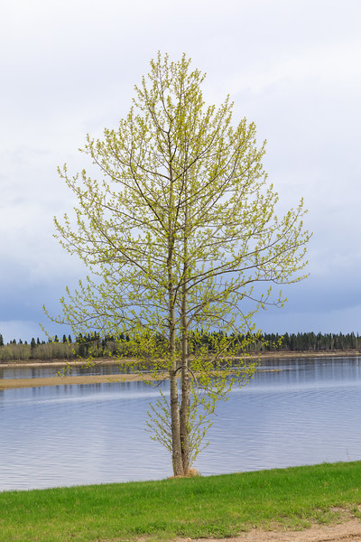 Leaves starting to show on a tree along the Moose River in Moosonee, Ontario. 2017 May 31st.