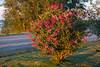 Plant along Revillon Road with reddish blooms at sunrise.