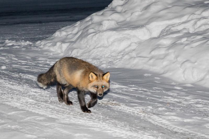 Fox on driveway.