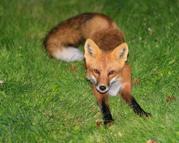 Fox on the lawn after sunset.
