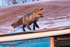 Fox on the roof.