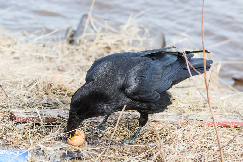 Raven enjoying an egg by the river. 2017 April 30th. Bird partially obscured by vegetation.
