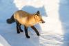 Fox walking on snow.