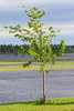 Tree along the Moose River in Moosonee. 2017 June 20th. Direct sunlight.