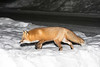 Red fox on snow.