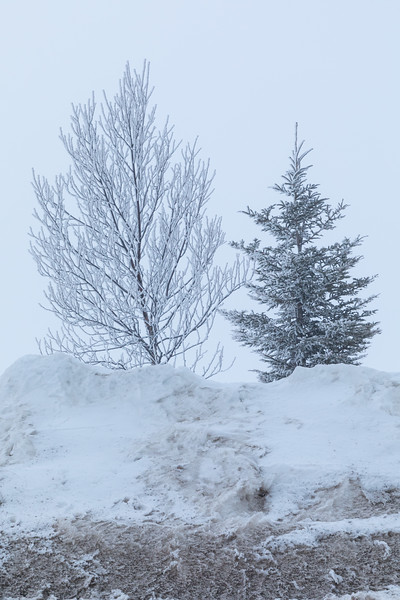 Frosted trees along the Moose River in Moosonee on a foggy spring morning.