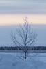 Frosted tree along the Moose River before sunrise.