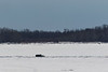 Heat distorted picture of truck driving across the Moose River from Moose Factory to Moosonee 2018 April 23rd.