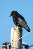 Raven on top of a utility pole.