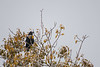 Raven in a tree along the Moose River with fresh snow. 2018 October 15.