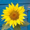 Sunflower in Moosonee 2018 September 13.