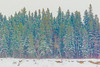 Snow covered trees across the Moose River on Butler Island. Fanciful adjustments to colour saturation.
