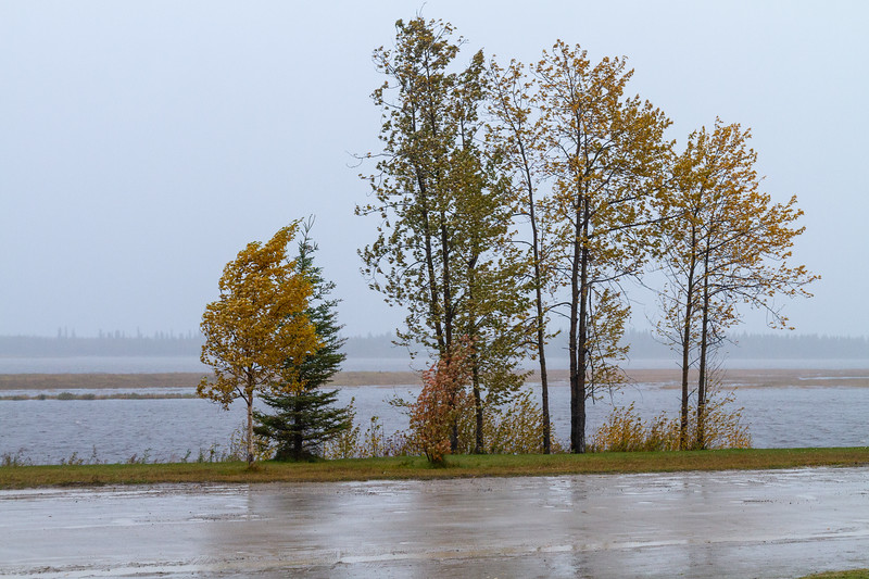 Trees along the Moose River on a rainy morning in Moosonee 2018 October 11.