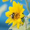 Bee visiting a sunflower.