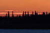 Trees across the Moose River from Moosonee in silhouette before sunrise 2018 January 24th.