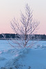 Frosted tree along the Moose River in Moosonee at sunrise.