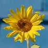 Sunflower in Moosonee.