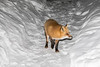 Red fox between snowbanks.