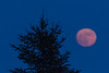 Full moon rising over an evergreen tree on the banks of the Moose River in Moosonee.