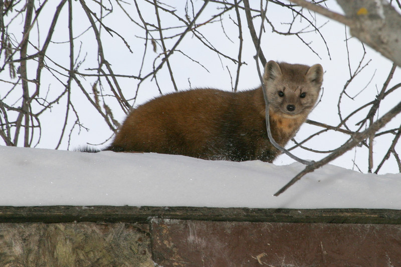 Marten on shed roof looking towards camera 2005 January 29