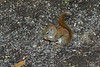 2004 October 23 squirrel amid sunflower seeds on the ground.