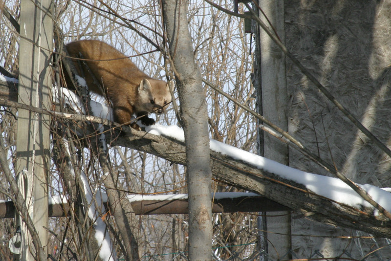 Marten descending tree branch 2005 January 29