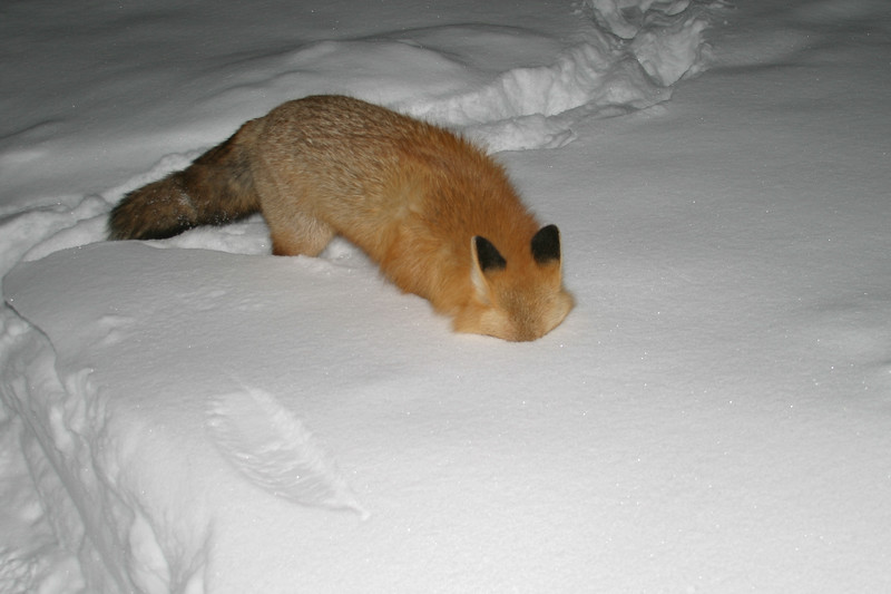 Fox with head in snow 2004 December 30