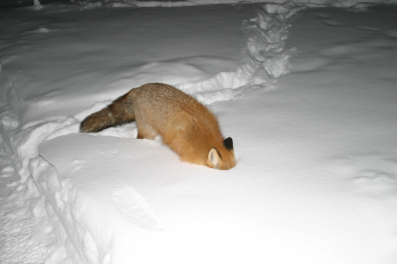 Fox with head in snow
