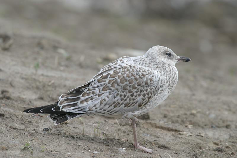 Juvenile seagull 2004 September 8.