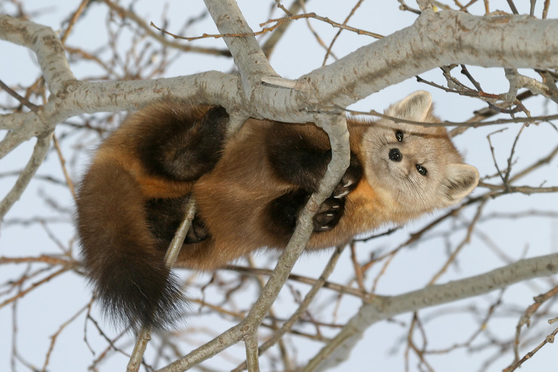 Marten up in a tree, view from underneath. Some obscuring branches.