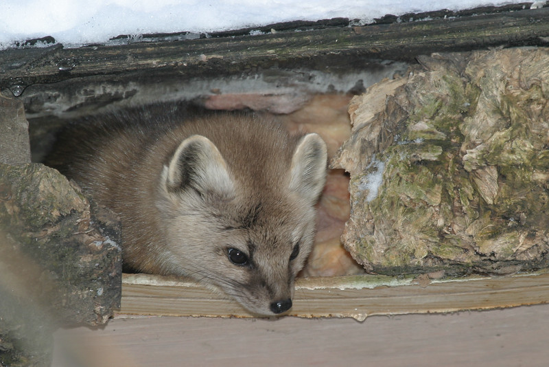 Marten peering out from under shed roof. Looking down.