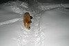 Fox in snow 2004 December 30
