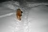 Fox in snow 2004 December 30